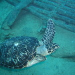 turtle by the wreck Oro Verde