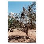 Famous goats in argan tree - we didn't see any ourselves, so Omar gave us a photo.