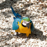 Parrot walking up to me