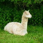 one of the beautiful alpacas