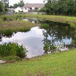 This is the pond behind the pool with frogs.
