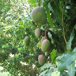  mango tree outside our room, Erica made fabulous smoothies with these!!!