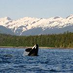  Orca near Auke Bay