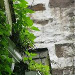 There's a lot of very impressive ivy growing out of the rain gutters