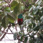 Quetzal seen from our Cabana