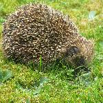 the local hedghog