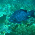 midnight parrot fish