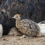  Baby Ostrich