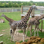 Get a ticket to feed the giraffes