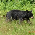 Saw this mother bear and her two cubs right up the street from the motel.