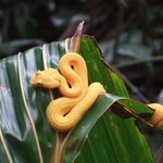 An eyelash Viper in the Cahuita national park, very poisonous!!