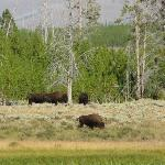 Bison hanging out in the meadow just below Indian Creek