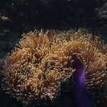 sea anenome - see Nemo?
