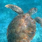 Green Turtle at Sapphire