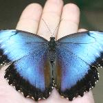  Farfalla morpho