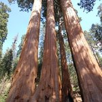 Weird how many of the Sequoias merge together like this.  We call this one TreTree.