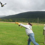 Flying a Harris Hawk
