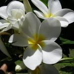 Plumeria Trees are every where!