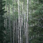  Aspen grove in the forest