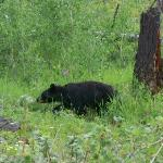 We saw this Black Bear within 2-3 miles of the campground