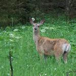 This Blacktail Deer was 30 yds from our site.