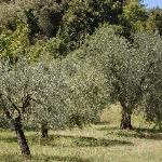  Olive grove behind the property