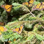  Butterflies on a bush in the Monarch Butterfly Reserve, Mexico