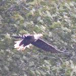Bald Eagle at Patoka Lake