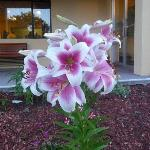  Gorgeous huge hybrid lily in front of Days Inn, Auburn