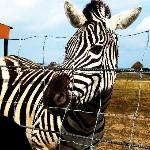 zebras and camels are behind a wire fence