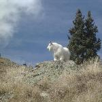  Mountain goat at Animas.