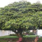  beautiful tree that gives lots of shade