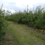 Golden Delicious Apple Trees Milburn Orchards