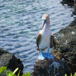 Blue footed boody seen nearby