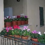 Cyclamen outside front door
