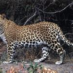 leopard in bera