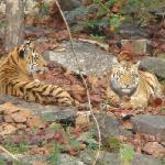 tigers in the wild 2