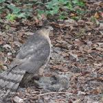  Hawk outside our window