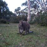 Wallaby at the local pub