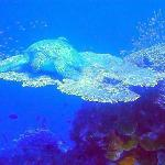 Large turtle sleeping on table coral
