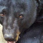 "See ""Castor"", a Florida Black Bear, in a nat"