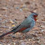  Pyrrhuloxia