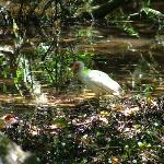 White Ibis at Parrot Bay