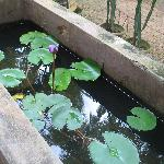 Lotus pond in backyard