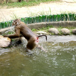 Monkey does back-flips into water for your entertainment.