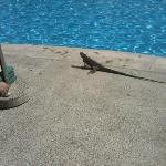There was a small island in the middle of the pool. The 4 iguanas that lived there would join is
