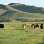 Domestic Yaks Grazing