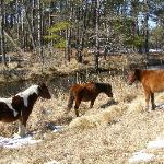 Close encounter with Chincoteaque Ponies