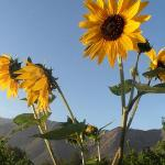 Sunflowers and a view of the mountains