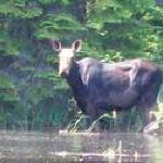 Moose ( Just across the lake , headed into the secadian river mouth)